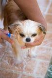 Le chien mignon de chiwawa prennent un bain à la maison Photos libres de droits