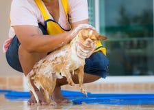 Le chien mignon de chiwawa prennent un bain à la maison Photo libre de droits