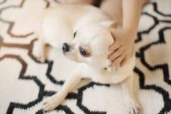 Le chien mignon de chiwawa se repose sur le tapis scandinave de couverture sur le plancher et une main d'une étreinte de petite f Photo stock