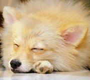 Le chien mignon de Pomeranian dort Photographie stock