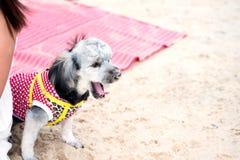 Le chien mignon et drôle de peu de chien d'usage vêtent se reposent sur le tapis et le lacet rouges Photos libres de droits