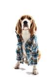 Le chien mignon porte dans l'habillement humain Images libres de droits