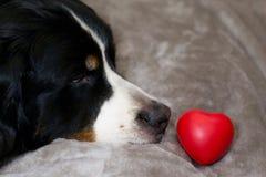 Le chien mignon regarde sur le coeur se situant dans l'avant son nez Gog de montagne de Bernese de race sur le lit Concept de Sai image libre de droits