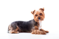 Le chien mignon se trouve sur le fond blanc Yorkshire Terrier Photographie stock libre de droits