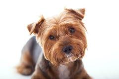 Le chien mignon se trouve sur le fond blanc Yorkshire Terrier Photo libre de droits