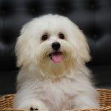 Le chien minuscule de race de chiot de tzu de Shih, vieillissent 6 mois, enjouement, loveli Images libres de droits