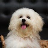 Le chien minuscule de race de chiot de tzu de Shih, vieillissent 6 mois, enjouement, loveli Photographie stock
