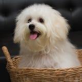 Le chien minuscule de race de chiot de tzu de Shih, vieillissent 6 mois, enjouement, loveli Image stock