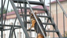 Le chien montant les escaliers sur des parcours du combattant au championnat 3d national du ressortissant canin maintient l'ordre banque de vidéos
