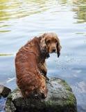 Le chien multiplie le cocker anglais photo stock