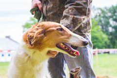 Le chien multiplie le lévrier russe près de son propriétaire, un portrait d'un plan rapproché de chien dans le profile_ images stock