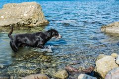 Le chien nage en mer photos libres de droits