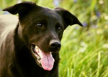 Le chien noir avec la longue langue rose observe son maître photographie stock libre de droits