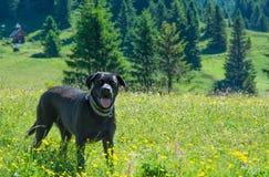 Le chien noir de chien d'arrêt de SLabrador s'étendent dans les montagnes Images stock