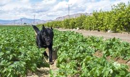 Le chien noir de mastiff fonctionne par un soleil vert de champ sur son dos photographie stock