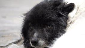 Le chien noir et blanc se situe dans la cour banque de vidéos