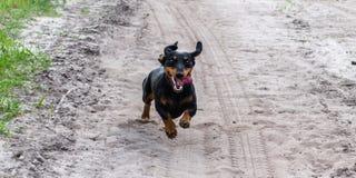 Le chien noir heureux simple de teckel fonctionne rapidement pour la voiture ou la bicyclette sur la route arénacée photo stock
