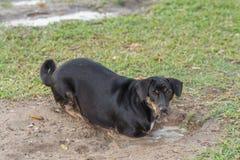 Le chien noir joue l'eau emprisonnée dans un étang dans la pelouse Images stock