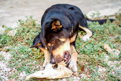 Le chien noir mange l'os Images libres de droits