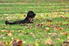 Le chien noir observe quelque chose Photographie stock