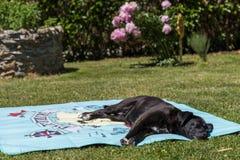 Le chien noir se trouve par la serviette de bain Photo stock
