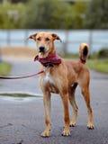 Le chien non de race de rouge coûte sur la route. Photo libre de droits