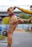 Le chien non de race de rouge demande la nourriture Images libres de droits
