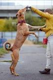 Le chien non de race de rouge demande la nourriture Photographie stock