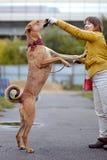 Le chien non de race de rouge demande la nourriture Photographie stock libre de droits