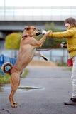Le chien non de race de rouge demande la nourriture Photos libres de droits