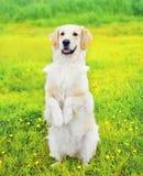 Le chien obéissant futé de golden retriever exécute la commande Photographie stock libre de droits