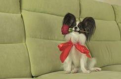 Le chien Papillon maintient la rose de rouge dans sa bouche dans l'amour le jour de valentines Photos libres de droits