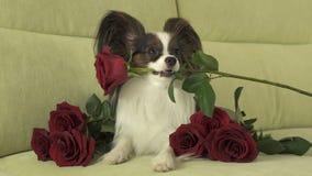 Le chien Papillon maintient la rose de rouge dans sa bouche dans l'amour le jour de valentines Image stock