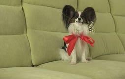Le chien Papillon maintient la rose de rouge dans sa bouche dans l'amour le jour de valentines Photographie stock libre de droits