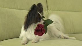Le chien Papillon maintient la rose de rouge dans sa bouche dans l'amour le jour de valentines Photo stock
