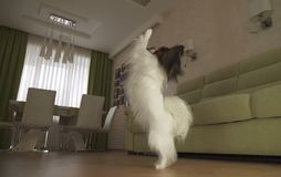 Le chien Papillon marche sur ses jambes de derrière et danses dans le salon Photos libres de droits