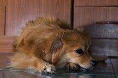 Le chien paresseux se trouve sur le plancher Photo stock
