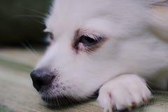 Le chien pelucheux blanc tombe endormi sur le divan photo libre de droits