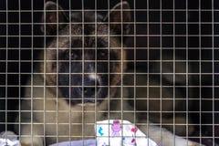 Le chien perdu se repose dans une cage derri?re un trellis dans l'attente du nouveau propri?taire Abri pour les crabots parasites image stock