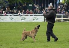 Le chien policier tient le criminel à la baie Images libres de droits
