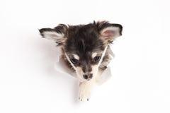 Le chien recherchant quelque chose est isolé sur le fond blanc Photographie stock libre de droits