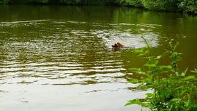 Le chien recherchent le bâton Le chien de golden retriever sautent et natation dans les eaux de la tête de lac juste banque de vidéos
