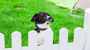 Le chien regarde au-dessus de la barrière de jardin Image libre de droits