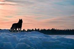 Le chien regarde le coucher du soleil Beau chien de traîneau sibérien regardant le coucher du soleil, grande conception pour tous Photo libre de droits