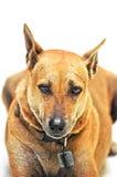 Le chien regarde dans vos yeux d'isolement Photographie stock libre de droits