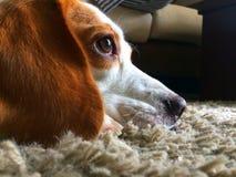Le chien regarde en avant sur le tapis gris photographie stock