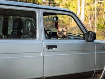 Le chien regarde hors de la voiture image stock