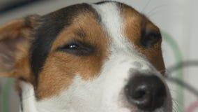 Le chien regarde l'appareil-photo et clignote lentement banque de vidéos