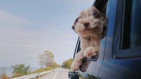 Le chien regarde la fenêtre de la voiture qui se déplace banque de vidéos