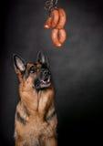 Le chien regarde la saucisse Photo libre de droits